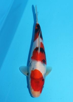 Cyprus koi japanese koi for sale in cyprus for Imported japanese koi for sale