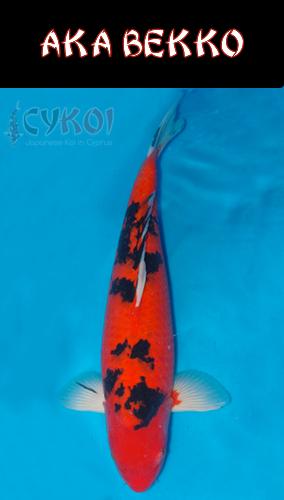 AKA-BEKKO-KOI-VARIETY-CYPRUS