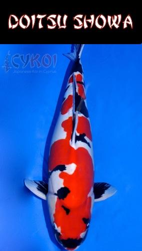 DOITSU-showa-KOI-VARIETY-CYPRUS