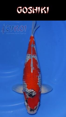 GOSHIKI-KOI-VARIETY-CYPRUS