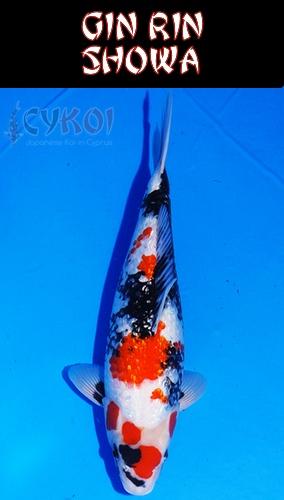 Gin-Rin-showa-KOI-VARIETY-CYPRUS