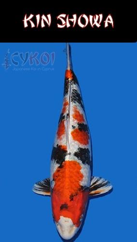KIN-SHOWA-KOI-VARIETY-CYPRUS